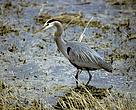 Great blue heron in wetland, Canada.