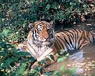Amur tiger  resting in a water puddle in the forest near Khor river. Amur region. Far East. Russian Federation