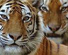 Portrait of two Siberian tigers (Panthera tigris altaica)