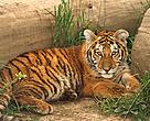 Juvenile Amur tiger.