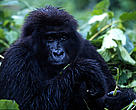 Mountain gorilla, adult female, in Virunga National Park, Democratic Republic of Congo.