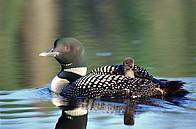 Loons (Gaviiformes); Canada / ©: Frank PARHIZGAR / WWF-Canada