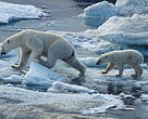 Polar Bears on ice pack Arctic Circle Russia