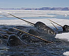 Narwhal in Lancaster Sound