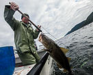 A fish harvester brings a cod on board his boat in Newfoundland