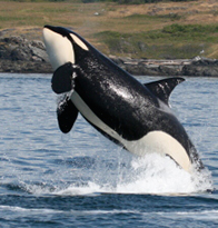 Southern resident Killer whale  	© Natalie Bowes / WWF-Canada