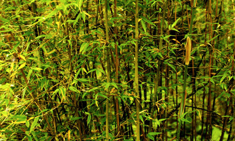 Panda Bear diet bamboo
