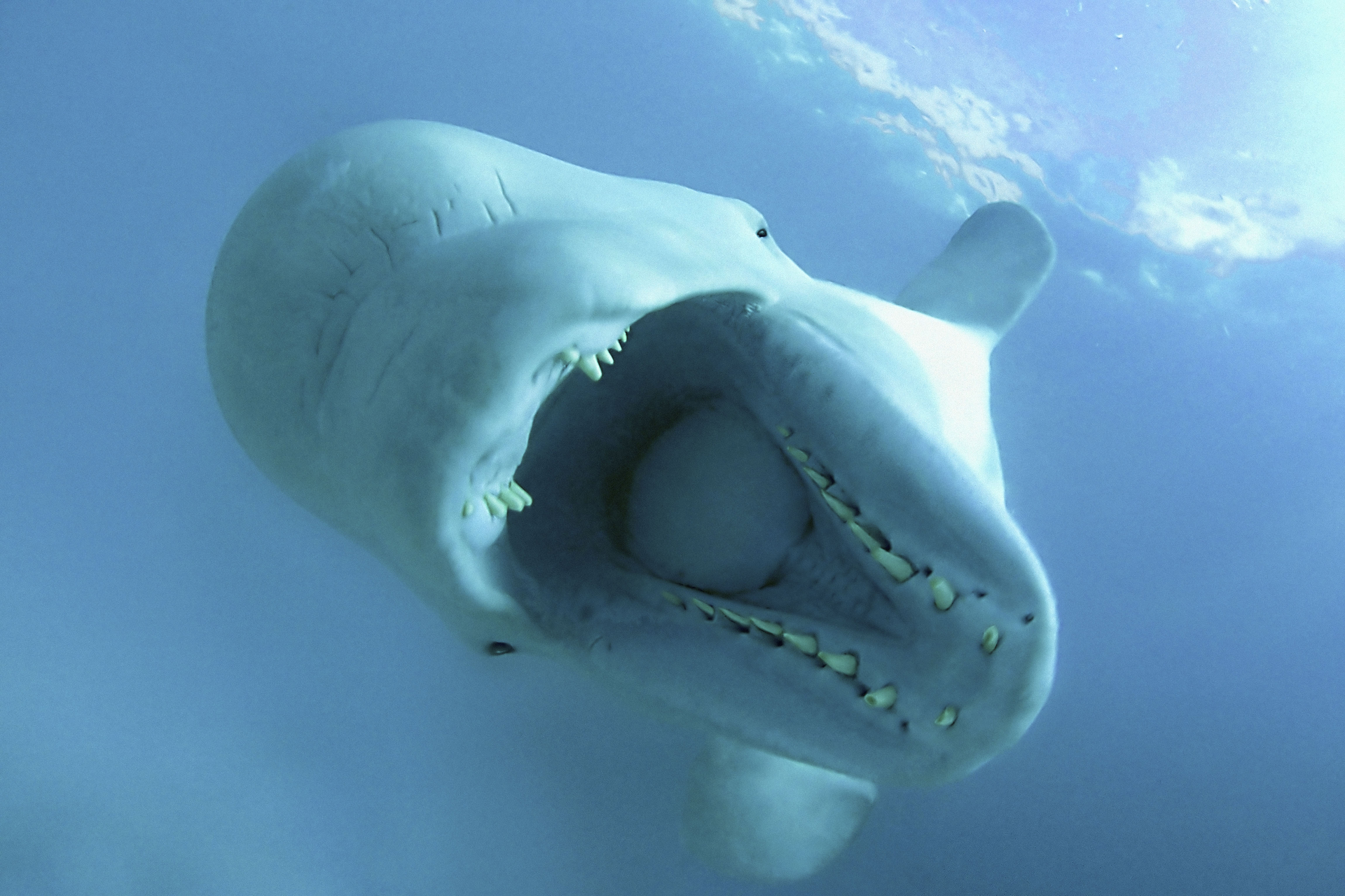Beluga whales pictures - photo#6