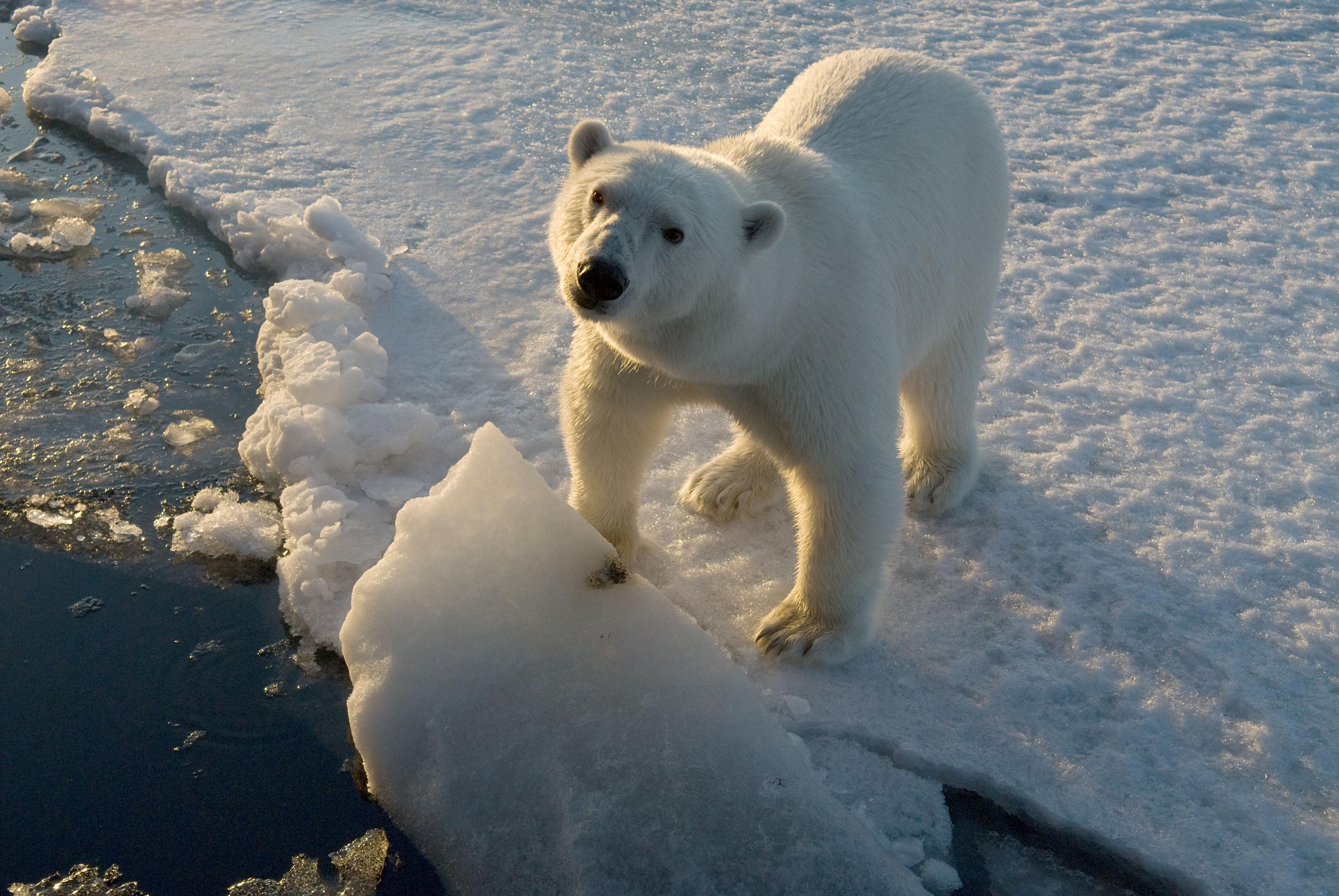 polar bear ursus maritimus wwf steve morello canon