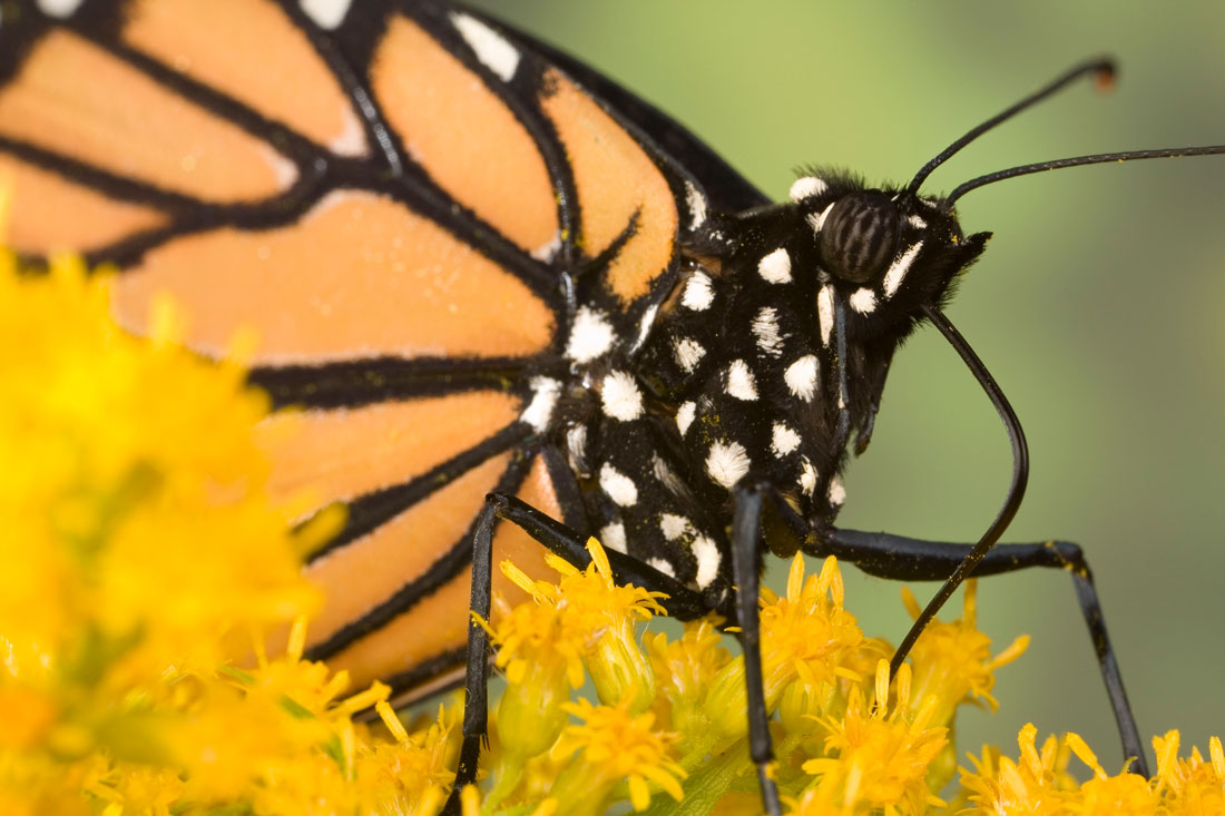 Monarch butterfly body - photo#39