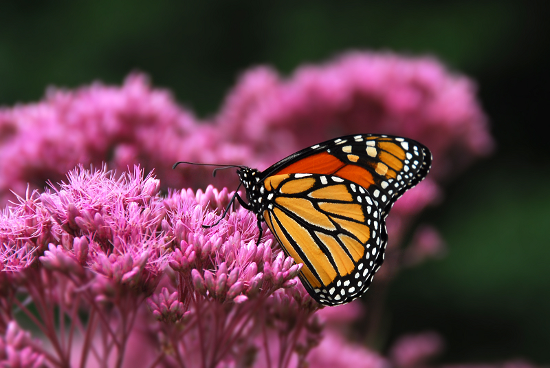Monarch Butterfly | WWF-Canada Wallpapers Of Butterflies
