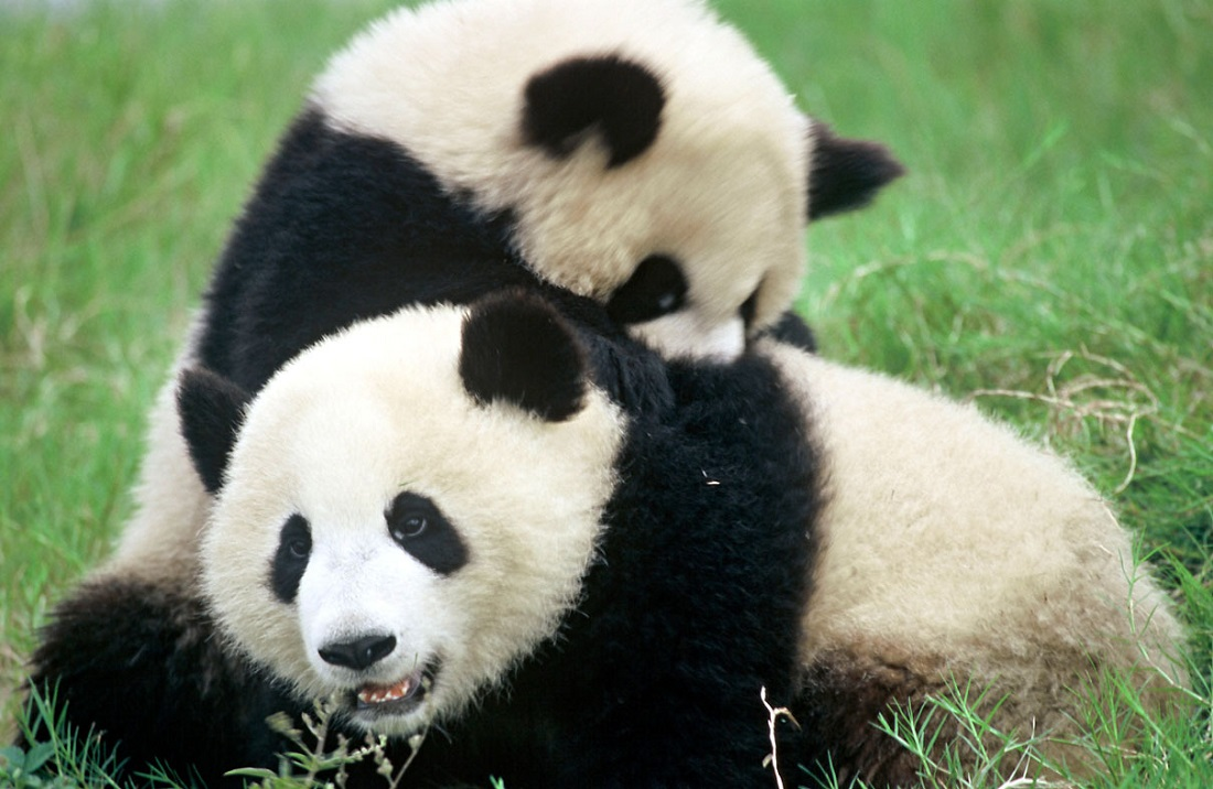 panda extinction The giant panda is now officially no longer an endangered species, with officials announcing over the weekend that it's been downgraded from endangered to vulnerable, following a 17 percent increase in population over the past 10 years it's an incredible change of fate for a species that.