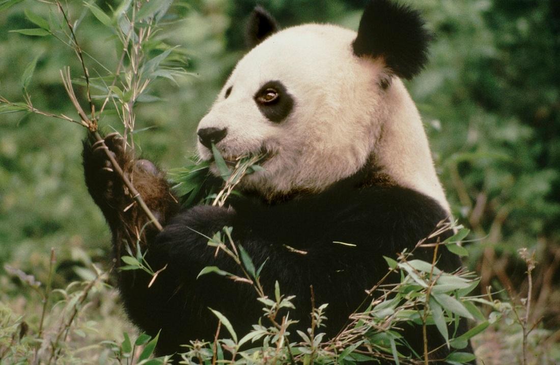 Giant Panda | WWF-Canada