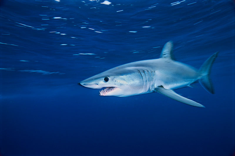 A Shortfin mako shark. / ©: Brian J. Skerry / National Geographic Stock / WWF