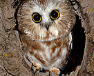 Northern saw-whet owls will get new nesting boxes thanks to Go Wild