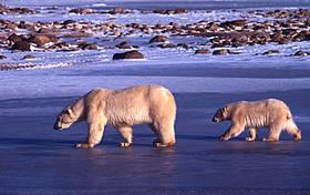 Polar bear Mother and young Churchill, Canada / ©: François PIERREL / WWF
