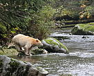 A Spirit Bear in the Great Bear Rainforest, British Columbia.
