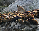 Proposed regulations don't do enough to protect species like these Steller's sea lions.