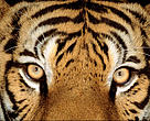 Portrait of an Indian tiger (Panthera tigris tigris). Endangered Species  Dist.: Asia, but extinct in much of its range.