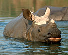 Young Indian rhinoceros (Rhinoceros unicornis)  crossing the river in Royal Chitwan National Park.  It was later translocated to  Royal Bardia National Park. Rhino translocation program 2002.  Nepal