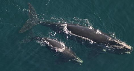 / ©: PCCS/PCCS-NOAA permit 633-1763 / WWF-Canada