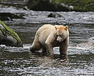 Kermode or Spirit bear in the Great Bear Rainforest.