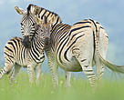 Burchell's zebra, Rietvlei Nature Reserve, Gauteng, South Africa. A Burchell's zebra (Equus quagga burchellii) mother and foal.