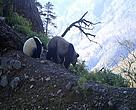 Giant Panda with a cub in Sichuan Anzihe Nature Reserve, China.