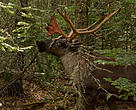 Woodland caribou in the boreal forest, Slate Islands, Ontario