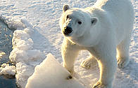 Polar bear, Spitsbergen, Norway / :  Tim Stewart / WWF-Canada