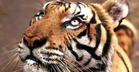 Tiger, Petchaburi, Thailand. rel=